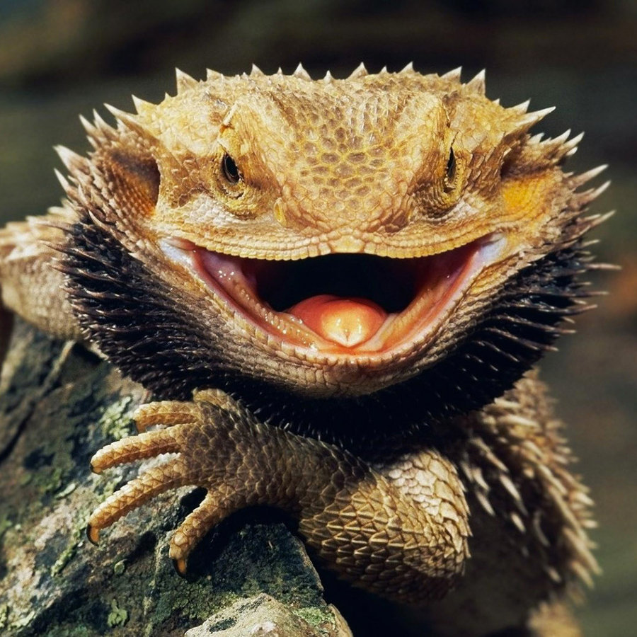 bearded_dragon.jpg