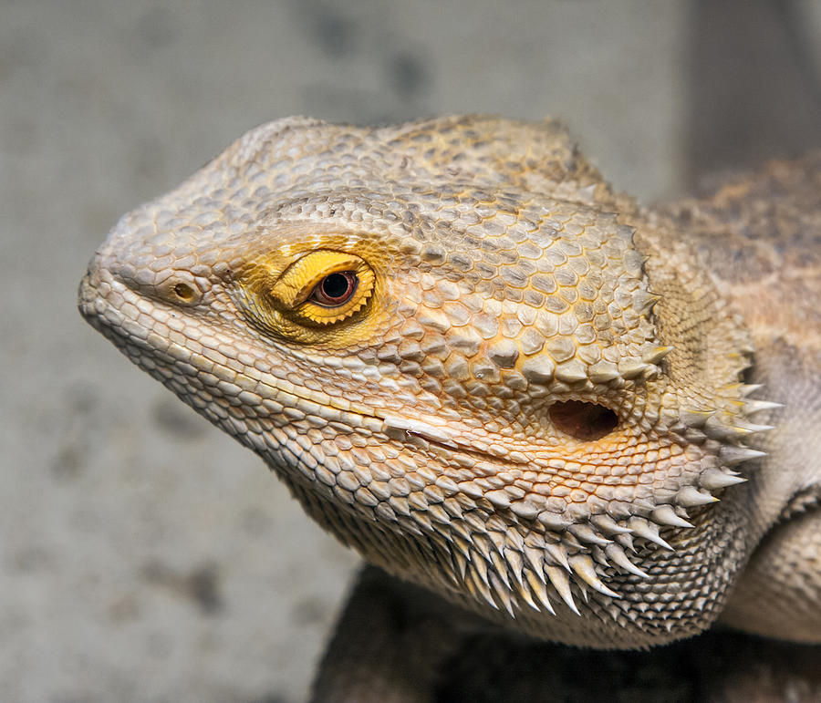 1-bearded-dragon.jpg